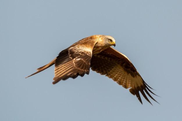 Impressionante ave de rapina em voo Foto Premium