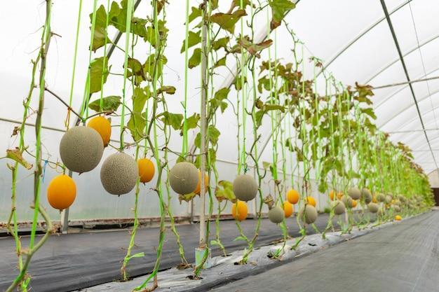 Indústria agrícola de cultivo de melancia em estufas Foto Premium
