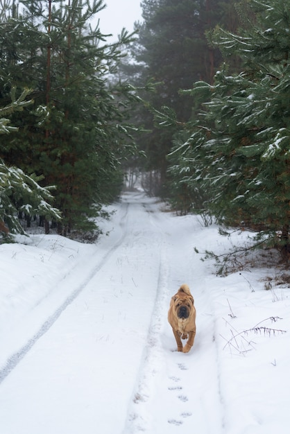 Inverno de shar pei na floresta conífera. Foto Premium