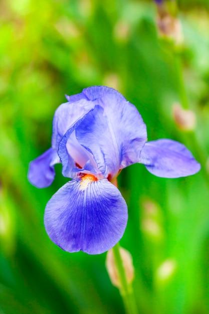 Íris azul flor closeup no fundo verde do jardim Foto Premium