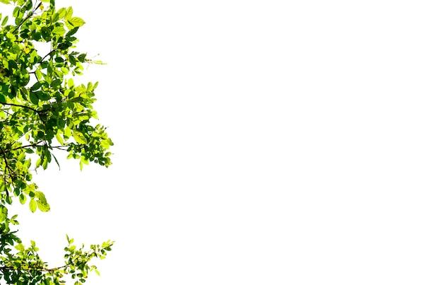 Isolado da parte superior do ramo de árvore e da folha verde no fundo branco. Foto Premium