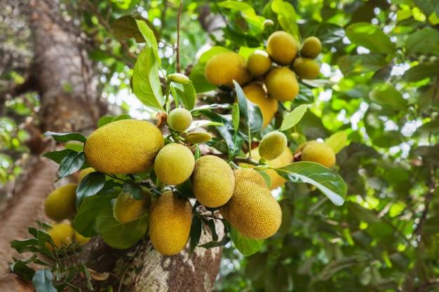 Jack fruit tree Foto Premium
