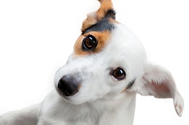 Jack russel terrier estúdio tiro Foto Premium