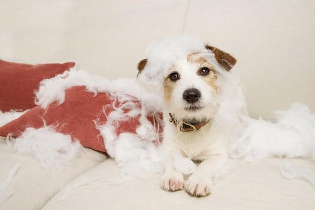 Cachorro no sofá depois de destruir almofada