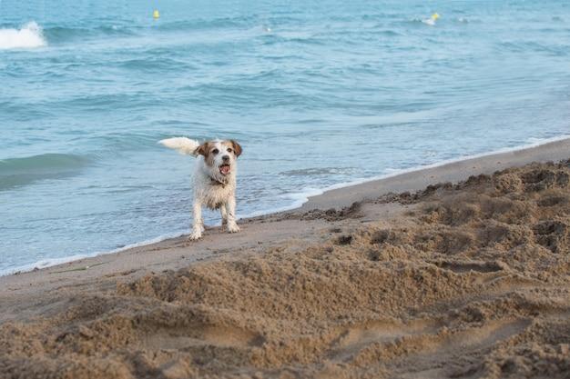 Jack russell sujo cachorro na praia brincando com areia no verão Foto Premium