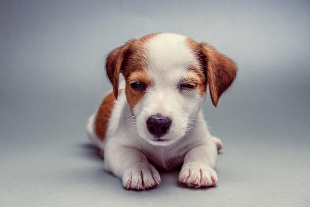 Jack russell terrier cachorrinho deitado Foto Premium