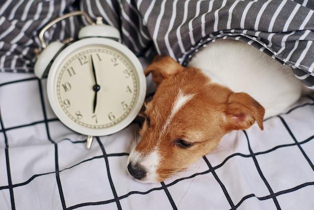 Jack russell terrier cachorro dorme na cama com despertador vintage. acorde e conceito de manhã Foto Premium