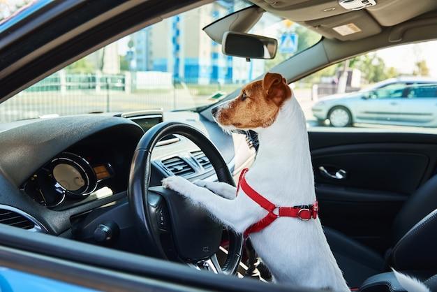 Jack russell terrier cachorro senta-se no carro no assento do motorista. viagem com um cachorro Foto Premium