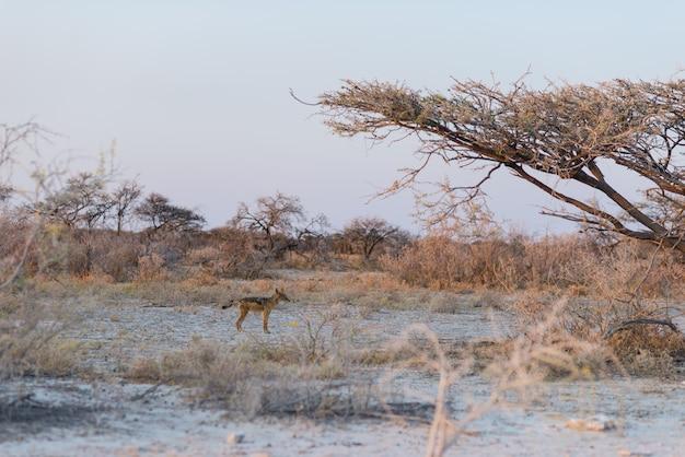 Jackals suportados pretos no arbusto no por do sol. etosha national park, o principal destino de viagem na namíbia, áfrica Foto Premium