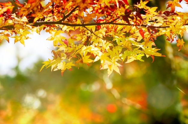 Jardim da árvore de bordo no outono. folhas de plátano vermelhas no outono. Foto Premium
