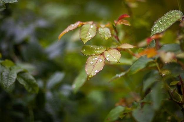 Jardim folhas verdes de uma planta com pingos de chuva Foto Premium