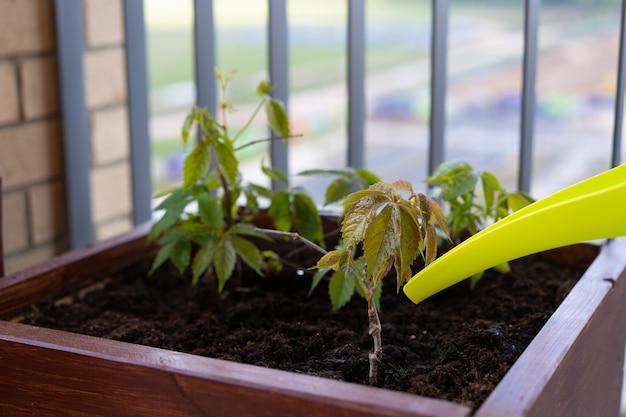 Jardinagem e horticultura. crescendo uvas femininas em uma caixa em um terraço na cidade. Foto Premium