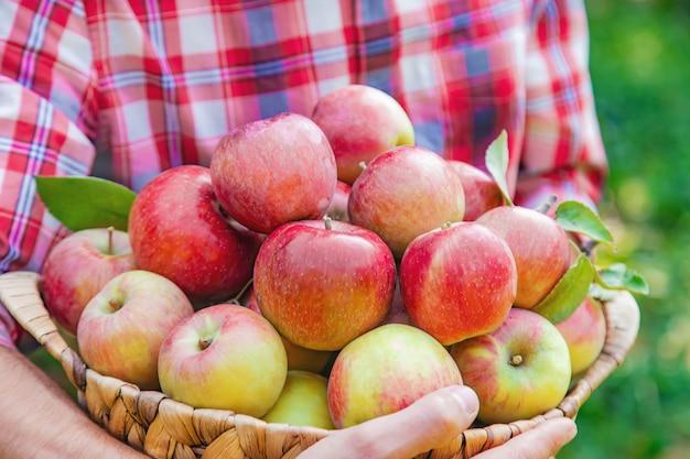 Jardineiro de homem pega maçãs no jardim no jardim Foto Premium