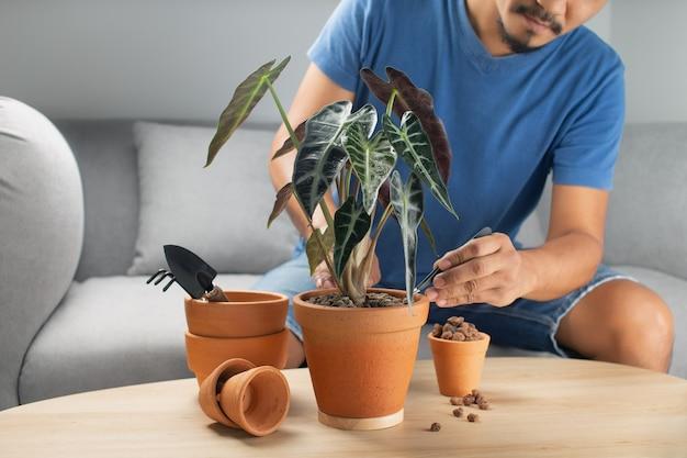 Jardineiros de homens transplantam mão de flecha de alocasia bambino ou touro alocasia sanderiana em panela de barro sobre a mesa de madeira. conceito de horta. Foto Premium