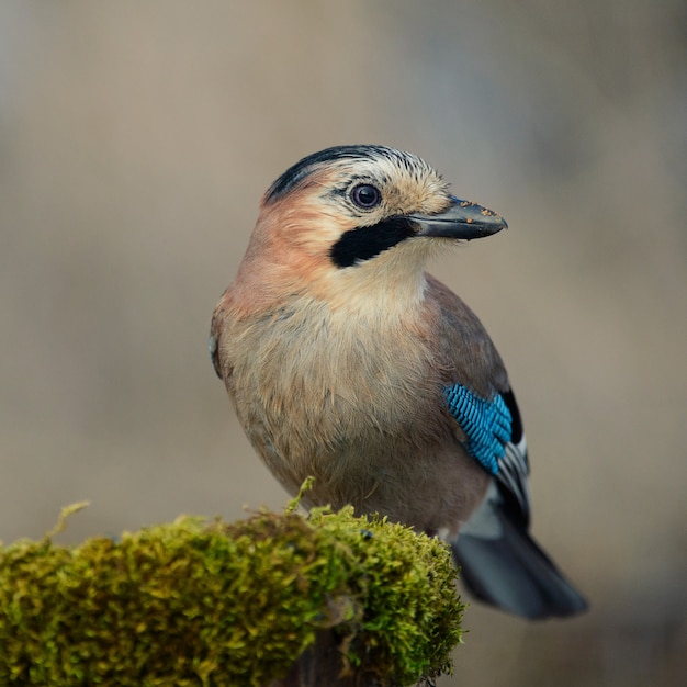 Jay da eurásia no alimentador de pássaros de inverno Foto Premium