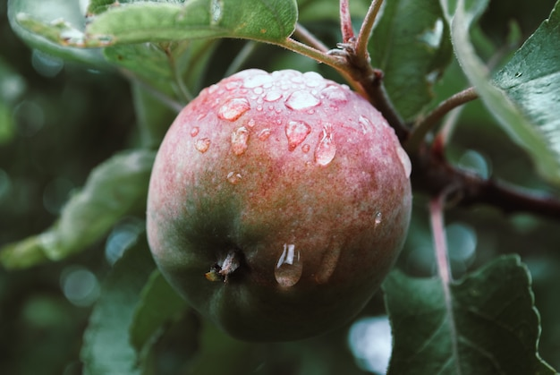 Jovem, ambientalmente amigável, apple em um galho de uma maçã t Foto Premium