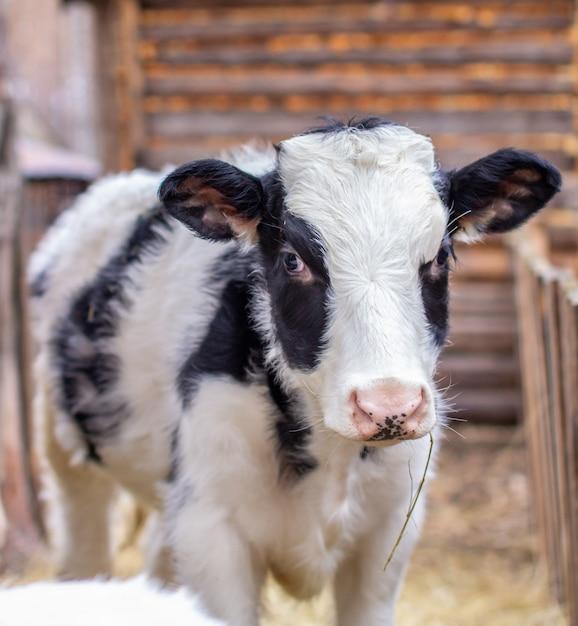 Jovem bezerro manchado de preto e branco em uma perseguição ao ar livre. vaca olha para a câmera Foto Premium