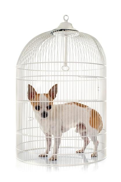 Jovem chihuahua em gaiola Foto Premium