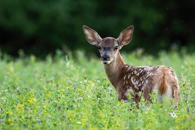 Jovem corça bonita veado vermelho, olhando para trás em um prado verde na natureza de verão Foto Premium