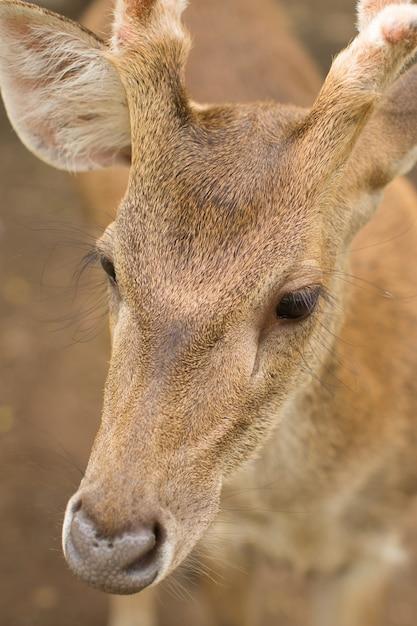 Jovem corça buck / capreolus capreolus / em pé no prado e assistindo Foto Premium