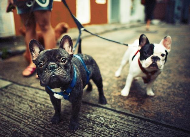 Jovem francês bulldogs com trelas andando no lado da steet Foto gratuita