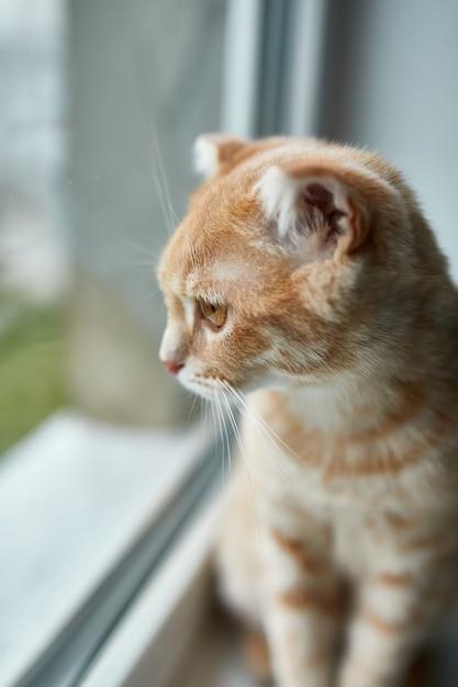Jovem gato listrado de pêlo curto britânico sentado no parapeito de uma janela olhando para casa pela janela, animal de estimação doméstico Foto Premium