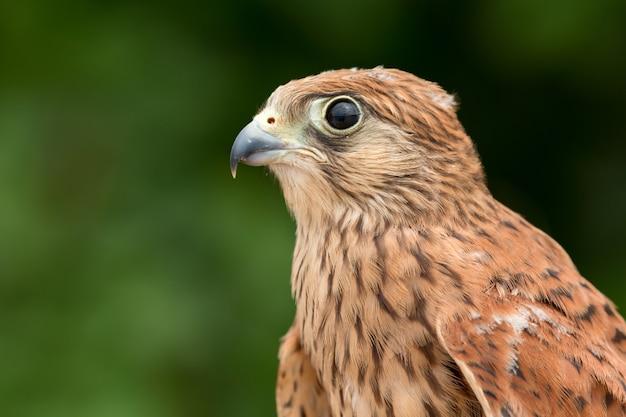 Jovem kestrel com uma bela plumagem Foto Premium