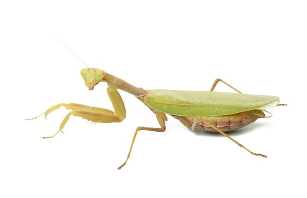 Jovem mantis verde sentado em um branco, inseto isolado Foto Premium