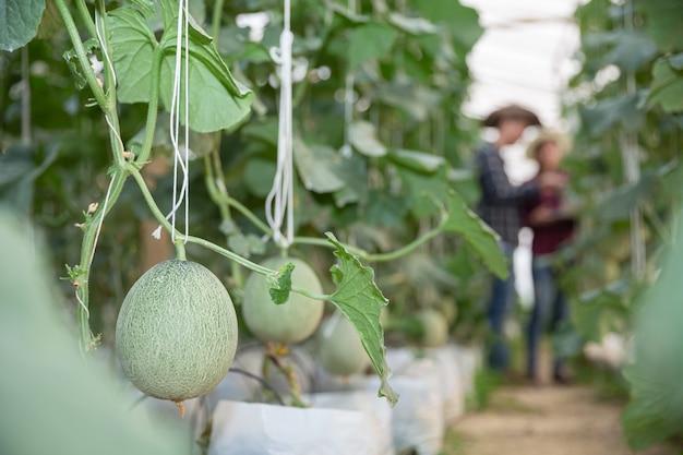 Jovem melão verde ou melão crescendo na estufa Foto gratuita
