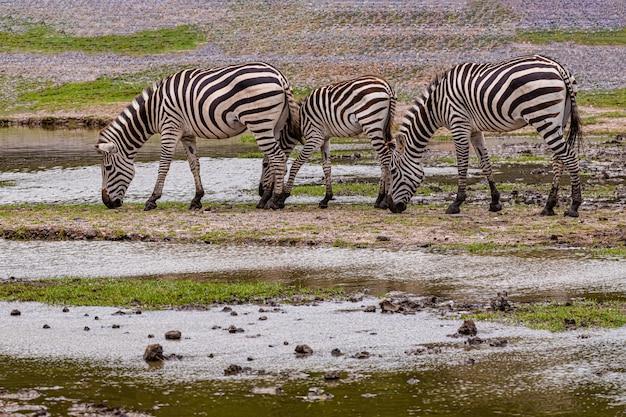 Jovem zebra no zoológico aberto Foto Premium