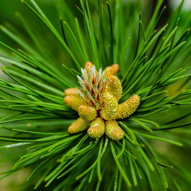 Jovens atiram no ramo de verde exuberante pinho. renovação de primavera de árvores, a formação de novos cones no pinheiro. Foto Premium