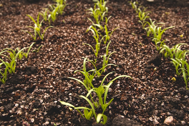 Jovens brotos de espinafre na horta. germinação de sementes de espinafre. Foto Premium