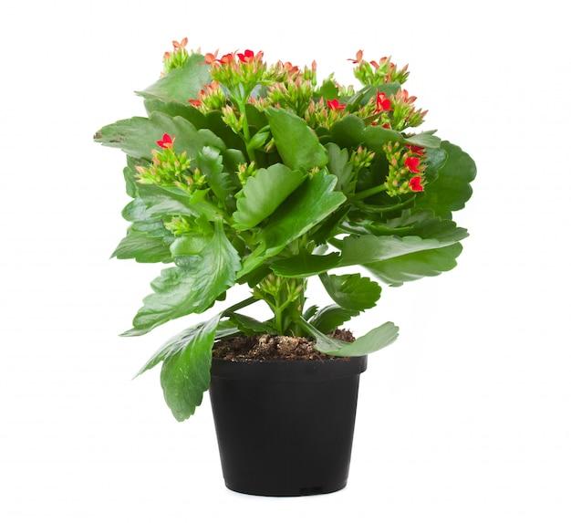 Kalanchoe, planta florescendo, em, pote Foto Premium