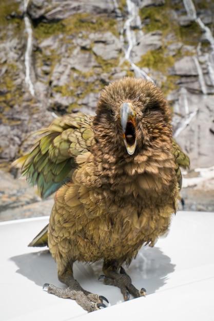 Kea pássaro na nova zelândia Foto Premium