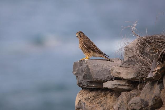 Kestrel (falco tinnunculus) fêmea em tenerife. Foto Premium