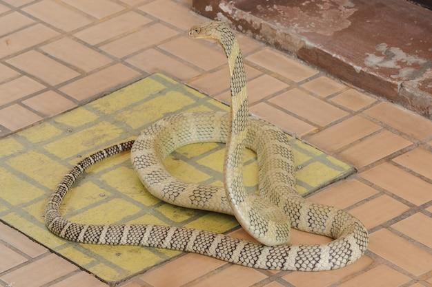 King cobra está levantando a cabeça. king cobra é a maior cobra venenosa do mundo. Foto Premium