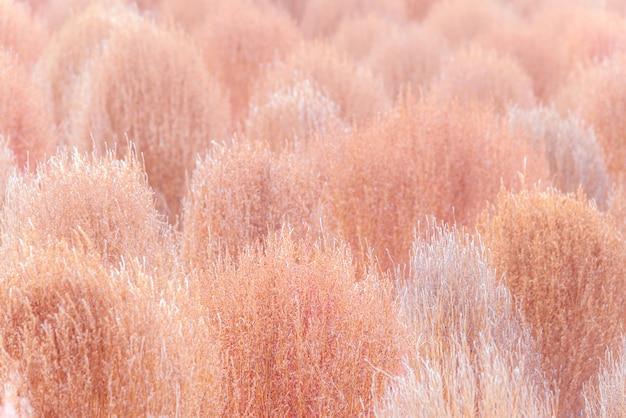 Kochia rosa seco na temporada de outono Foto Premium