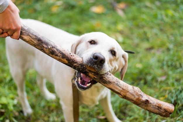 Labrador bonito jogando buscar ao ar livre Foto gratuita