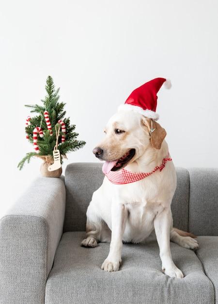 Labrador retriever bonito vestindo um chapéu de natal Foto gratuita