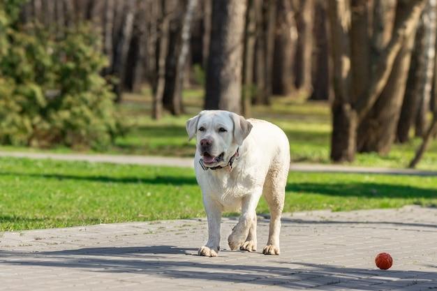Labrador retriever cachorro com bola Foto Premium