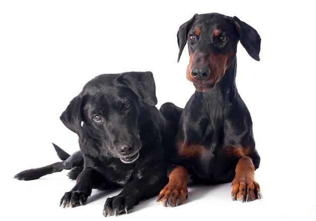Labrador retriever e dobermann Foto Premium