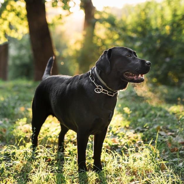 Labrador retriever preto em pé na floresta verde Foto gratuita