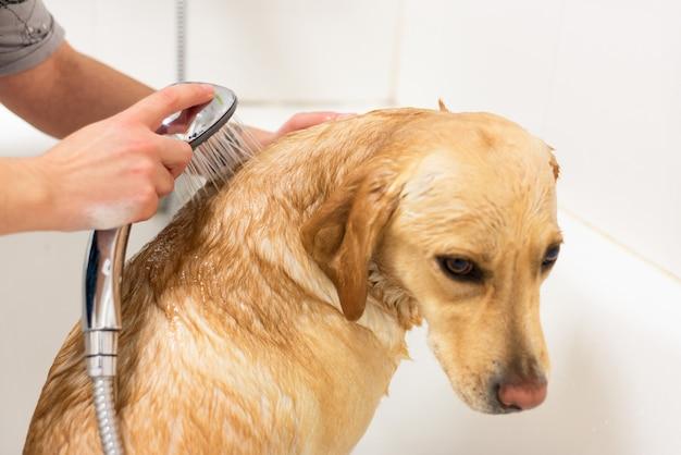 Labrador retriever tomando um banho. Foto Premium
