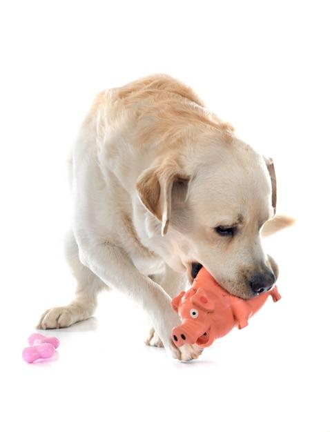 Labrador retriever Foto Premium