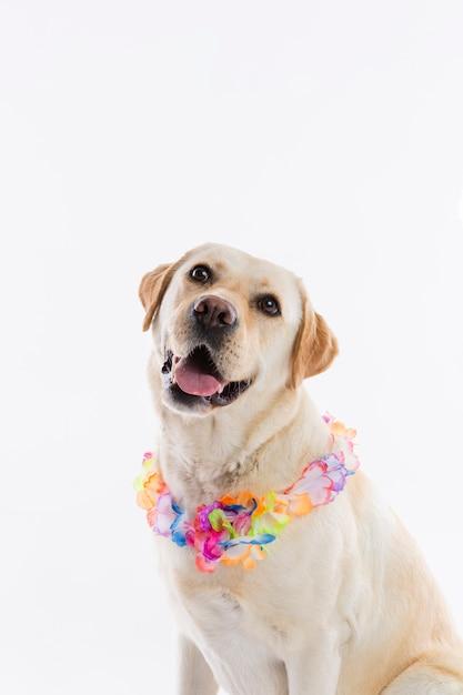 Labrador retriever Foto gratuita