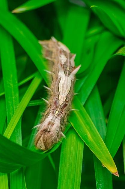 Lagarta de morpho peleides, em folhas verdes Foto Premium