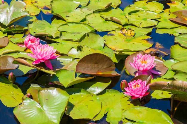 Lago com lindas flores de lótus sagradas rosa e folhas verdes - ótimo para papel de parede Foto gratuita