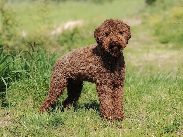 Lagotto romagnolo cão trufa Foto Premium