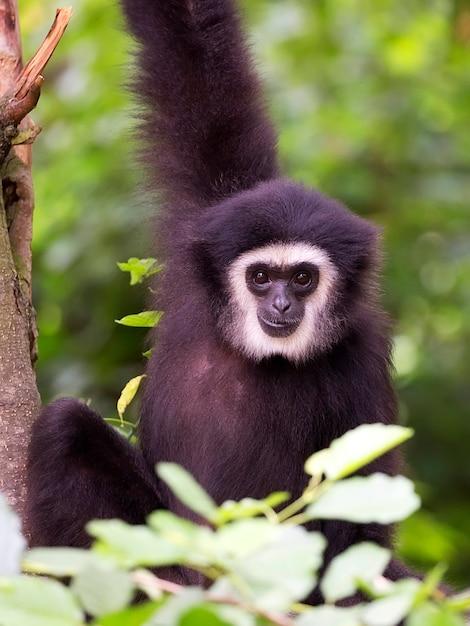 Lar gibbon um retrato Foto Premium