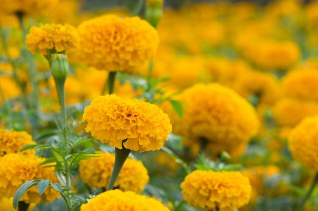 Laranja marigolds campos de flores, foco seletivo Foto Premium